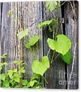 Grape Vines On An Old Barn Canvas Print