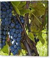 Grapes On A Vine Sutton Junction Quebec Canvas Print