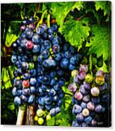 Grapes Ready For Harves Canvas Print