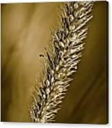 Grass Seedhead Canvas Print