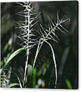 Grass Seeds In The Morning Light Canvas Print