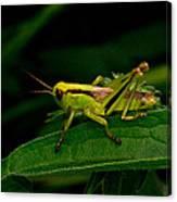 Grasshopper 1 Canvas Print