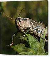 Grasshopper 2 Canvas Print