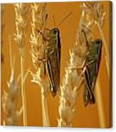Grasshoppers On Wheat, Treherne Canvas Print