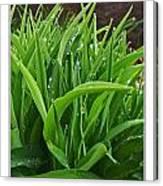 Grassy Drops Canvas Print