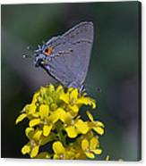 Gray Hairstreak Butterfly Din044 Canvas Print