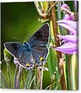 Gray Hairstreak Butterfly Canvas Print