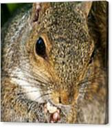 Gray Squirrel Canvas Print