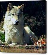 Gray Wolf ... Montana Art Photo Canvas Print