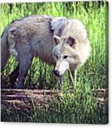 Gray Wolf Watching Canvas Print