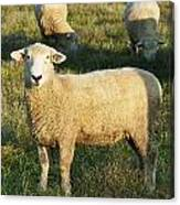 Grazing Sheep. Canvas Print