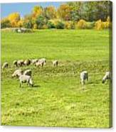 Grazing Sheep On Farm In Autumn Maine Canvas Print