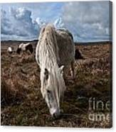Grazing The Moor Canvas Print