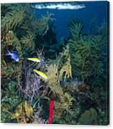 Great Barracuda, Belize Canvas Print