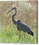 Great Blue Heron - Ardea Herodias Canvas Print