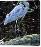 Great Blue Heron, Florida Canvas Print