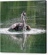 Great Blue Heron Having A Bath Canvas Print