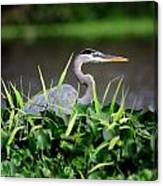Great Blue Heron Hiding In The Grasses Canvas Print