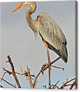Great Blue Heron In Habitat Canvas Print