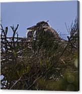 Great Blue Heron In Nest Canvas Print
