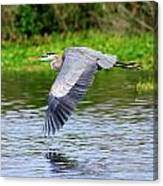 Great Blue Heron Inflight Canvas Print