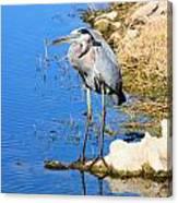 Great Blue Heron Resting Canvas Print