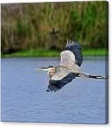 Great Blue Heron Soaring Canvas Print