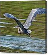 Great Blue Heron Canvas Print
