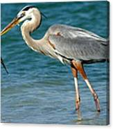 Great Blue Heron With Catch Canvas Print