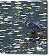Great Blue Heron With Snack Canvas Print