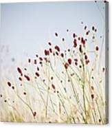 Great Burnet Flowers Canvas Print