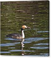 Great Crested Grebe With Breakfast Canvas Print