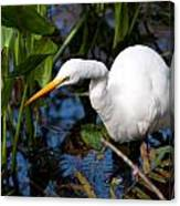 Great Egret Fishing Canvas Print