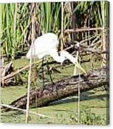 Great Egret Hunting Canvas Print