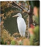Great Egret  In Cypress Canvas Print