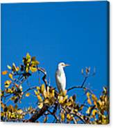Great Egret On Watch Canvas Print