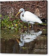 Great Egret Searching For Food In The Marsh Canvas Print