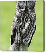 Great Grey Owl, Water Valley, Alberta Canvas Print