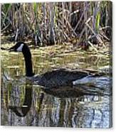 Great Swamp Goose  Canvas Print