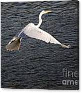 Great White Egret Flight Series - 10 Canvas Print