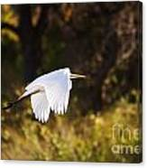 Great White Egret Flight Series - 5 Canvas Print