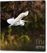 Great White Egret Flight Series - 6 Canvas Print