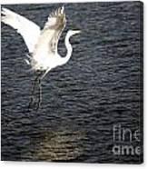 Great White Egret Flight Series - 9 Canvas Print