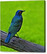Greater Blue-eared Starling Canvas Print