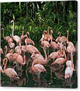 Greater Flamingo Phoenicopterus Ruber Canvas Print