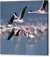 Greater Flamingos In Flight Over Lake Canvas Print