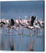 Greater Flamingos Run Through Shallow Canvas Print