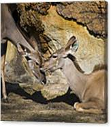 Greater Kudu Affection Canvas Print