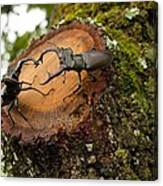 Greater Stag Beetles Canvas Print