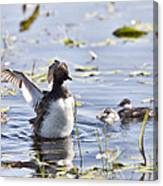 Grebe With Babies Canvas Print